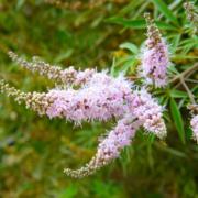 chaste tree herb in garden