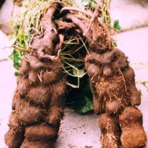 chinese herb root of he shou woo