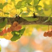 ginkgo fruit on tree