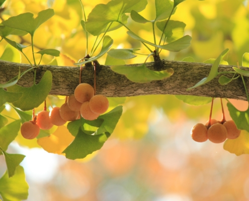ginkgo fruit on tree