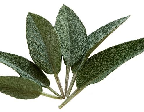 Sage plant leaves
