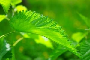 stinging nettle plant leaves close up