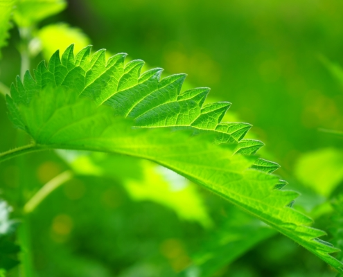 stinging nettle plant leaves close up