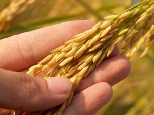 person holding rice grains at harvest