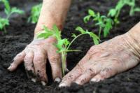 gardener planing organic herb
