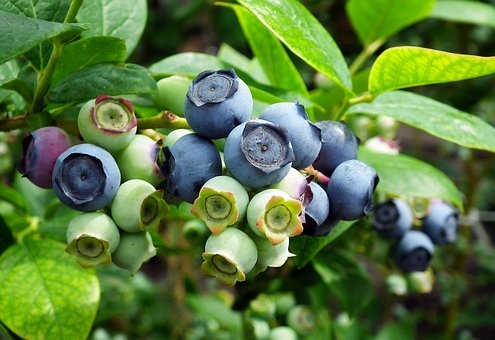 bilberries growing on vine